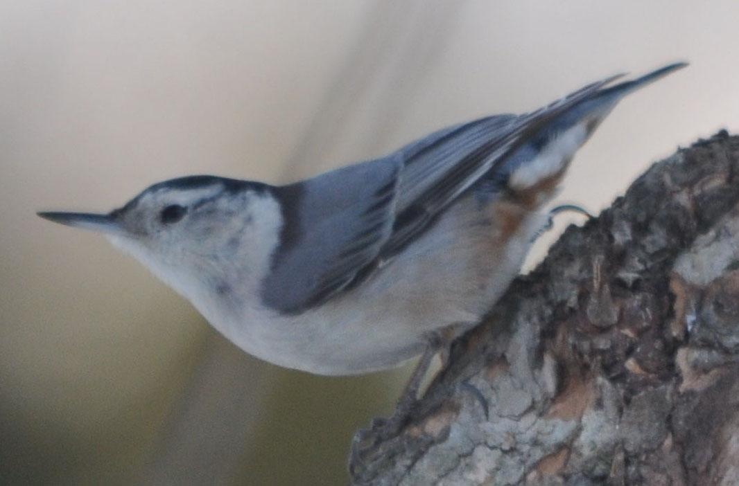 Orange Breasted Sparrow Eva's 2011 MA Bird Pho...