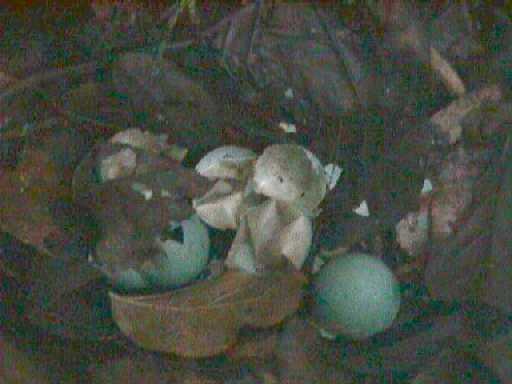 Toucan Eggs Tinamou's eggs (19k) at sacha;